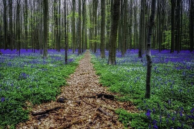 Hallerbos met hyacinten